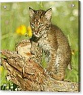 Baby Bobcat At Play Acrylic Print