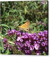 Baby Butterfly Acrylic Print