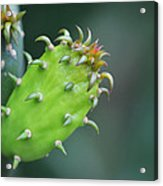 Baby Cactus - Macro Photography By Sharon Cummings Acrylic Print