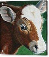 Baby Calf Acrylic Print