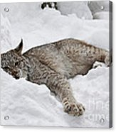 Baby Canadian Lynx Laying In The Snow Acrylic Print
