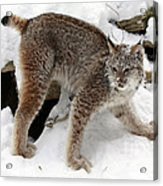 Baby Canadian Lynx Leaving The Winter Den Acrylic Print