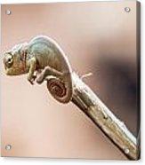 Baby Chameleon Acrylic Print