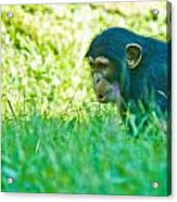 Baby Chimp In The Grass Acrylic Print