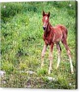 Baby Colt Acrylic Print