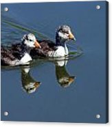 Baby Coots Acrylic Print
