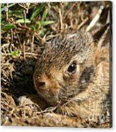 Baby Eastern Cottontail Acrylic Print