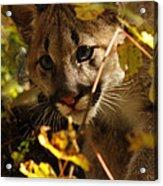 Baby Cougar Watching You Acrylic Print