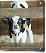 Baby Cow Acrylic Print