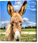 Baby Donkey Acrylic Print