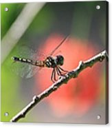 Baby Dragonfly Acrylic Print