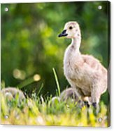Baby Duckling In The Morning Light Acrylic Print