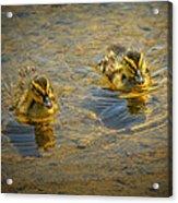 Baby Ducks Acrylic Print