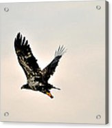 Baby Eagle Flying By  Acrylic Print
