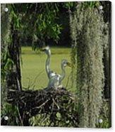 Baby Egrets Acrylic Print