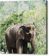 Baby Elephant Chiang Mai, Thailand Acrylic Print