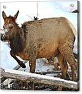 Baby Elk In Yellowstone Acrylic Print