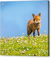 Baby Fox In Field Of Flowers Acrylic Print