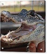 Baby Gator Acrylic Print