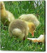 Baby Geese-mayer Lake-savannah Acrylic Print