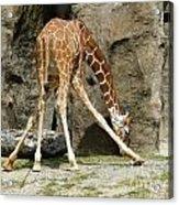 Baby Giraffe 1 Acrylic Print