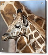 Baby Giraffe And Mother Acrylic Print