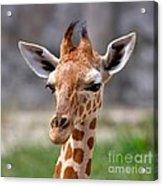 Baby Giraffe Acrylic Print