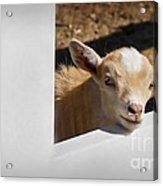 Baby Goat Acrylic Print