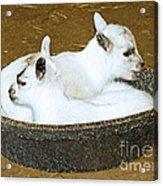 Baby Goats Lying In Food Pan Acrylic Print