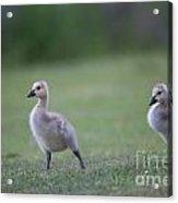 Baby Goslings Acrylic Print