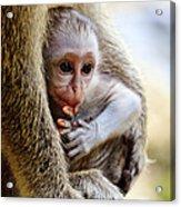 Baby Green Monkey - Barbados Acrylic Print