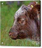 Baby Highland Cow Acrylic Print