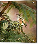 Baby Hummingbird In The Forest Acrylic Print
