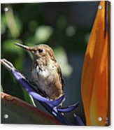 Baby Hummingbird On Flower Acrylic Print