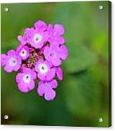 Flower - Baby In Pink Acrylic Print