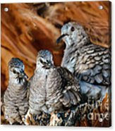 Baby Inca Doves Acrylic Print
