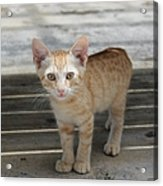 Baby Kitty Acrylic Print
