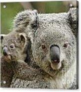 Baby Koala With Mom Acrylic Print