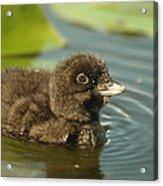 Baby Loon Acrylic Print