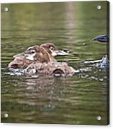 Baby Loons And Mom Acrylic Print