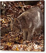 Baby Lynx Hunting In An Autumn Forest Acrylic Print
