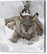 Baby Lynx In A Winter Snow Storm Acrylic Print