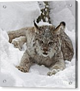 Baby Lynx On A Lazy Winter Day Acrylic Print