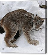 Baby Lynx Staying Close To Its Winter Den Acrylic Print