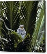 Baby Mockingbird Acrylic Print