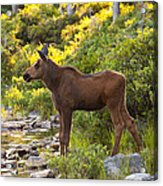 Baby Moose Baxter State Park Acrylic Print