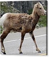 Baby Mountan Goat Crossing Road Acrylic Print