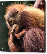 Baby Orangutan Borneo Acrylic Print