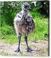 Baby Ostrich In The City Acrylic Print