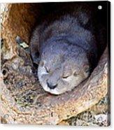 Baby Otter Acrylic Print